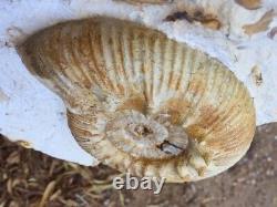 Beautiful RARE ammonite REINECKIA France Jurassic MUST SEE